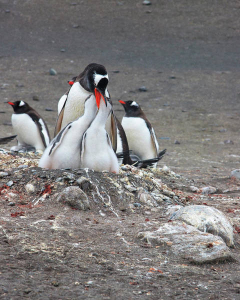 Wall Art - Photograph - Gentoo Penguin Barrientos Island, South by Tom Norring