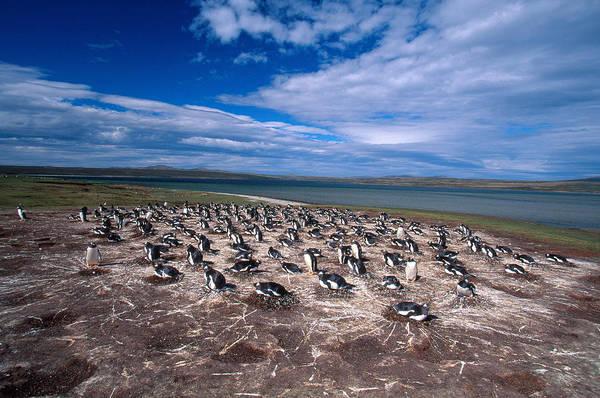 Wall Art - Photograph - Gentoo Penguin Colony Pygoscelis Papua by David Hosking