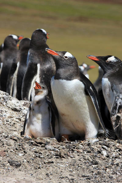 Wall Art - Photograph - Gentoo Penguin Rookery by Tom Norring