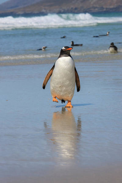 Islas Malvinas Wall Art - Photograph - Gentoo Penguin West Point Island by Tom Norring