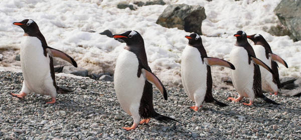 Sascha Wall Art - Photograph - Gentoo Penguins Marching In Single File by Sascha Grabow