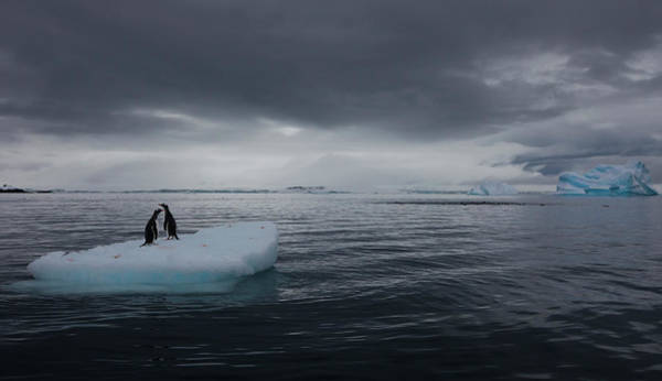 Vertebrate Photograph - Gentoo Penguins On An Iceberg by Mint Images - Art Wolfe