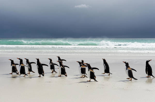 Island In The Sky Photograph - Gentoo Penguins Pygoscelis Papua by Ben Cranke