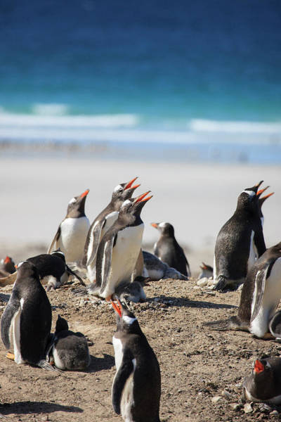 Wall Art - Photograph - Gentoo Penguins Saunders Island by Tom Norring