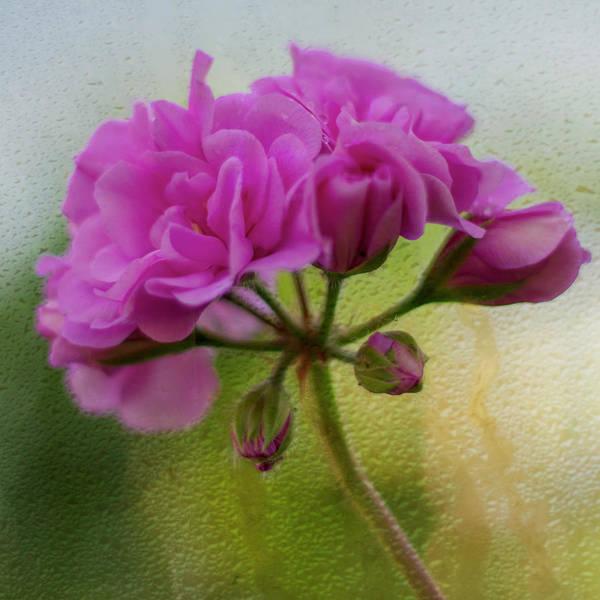 Photograph - Geranium Rain  by Diane Fifield