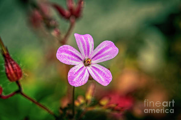 Red Geraniums Wall Art - Photograph - Geranium Robertianum by Adrian Evans
