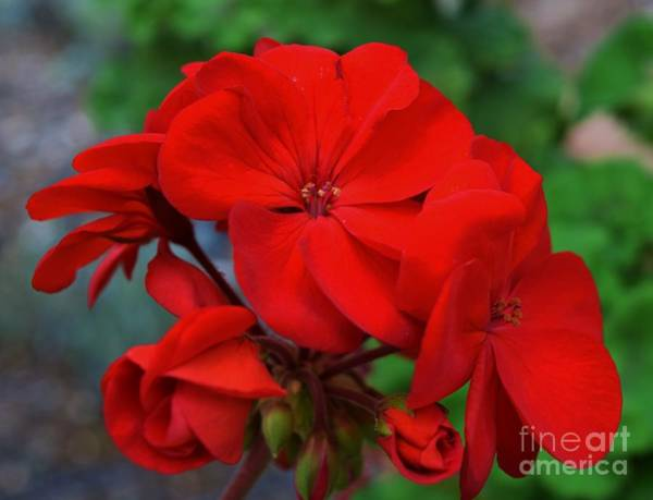 Wall Art - Photograph - Geraniums' Luster  by Janet Marie
