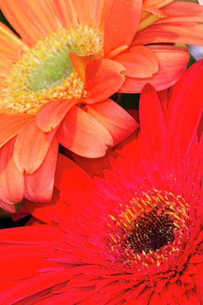 Asteraceae Wall Art - Photograph - Gerber Daisy, Asteraceae by Adam Jones