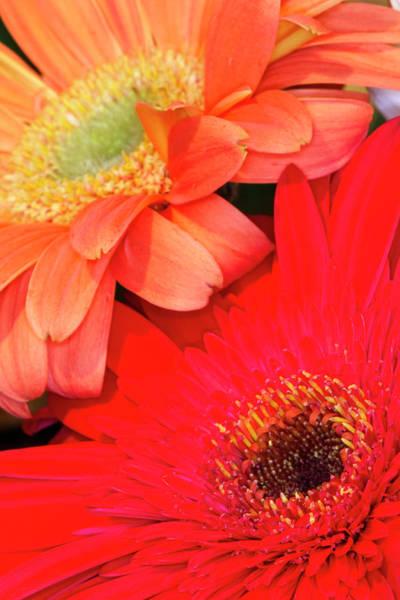 Asteraceae Photograph - Gerber Daisy, Asteraceae by Adam Jones