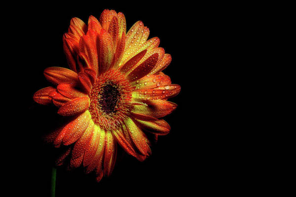 Photograph - Gerbera Bathed In Dew by Cyndy Doty