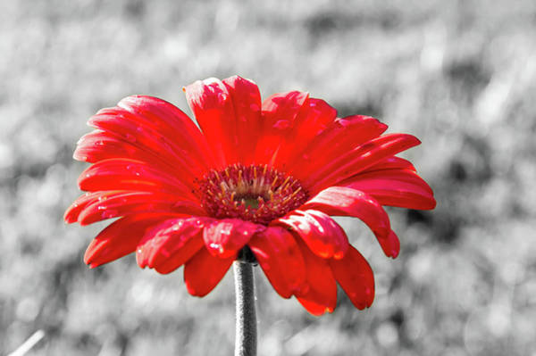 Gerbera Daisy Color Splash Art Print