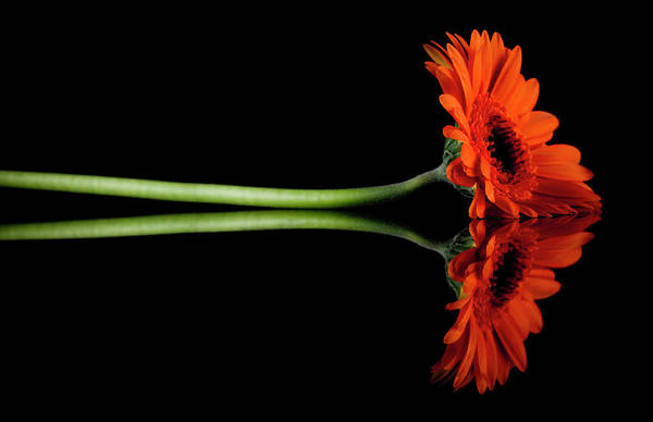 Daisy Photograph - Gerbera Daisy by Gbrundin