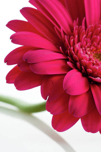 Decoration Photograph - Gerbera Daisy by Subman