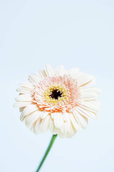Fragility Photograph - Gerbera Flower by Nicholas Rigg