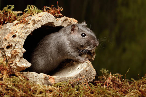 Wall Art - Photograph - Gerbil Standing On Cork Round by David Kenny