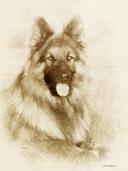 Drawing - German Shepherd 3 - Drawing by Ericamaxine Price