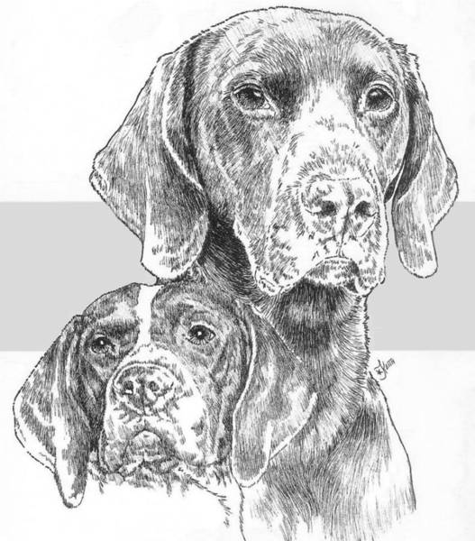 Drawing - German Shorthaired Pointer And Pup by Barbara Keith