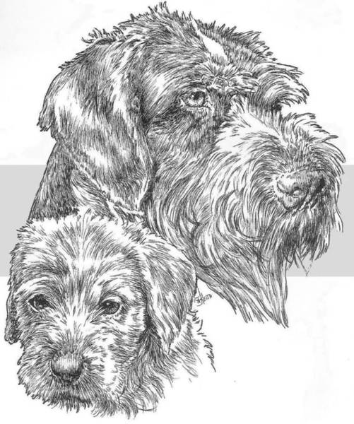 Drawing - German Wirehaired Pointer And Pup by Barbara Keith