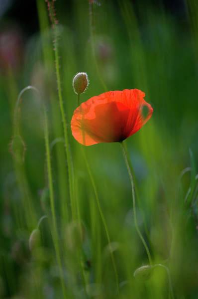 Photograph - Germany, Baden Wurttemberg, Poppy by Westend61