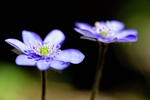 Liverwort Photograph - Germany, Bavaria, Anemone Hepatica by Westend61