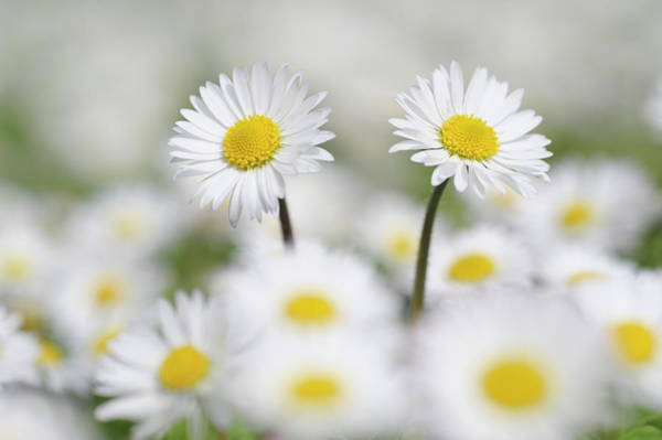Daisy Photograph - Germany, Bavaria, Daisies Bellis by Westend61
