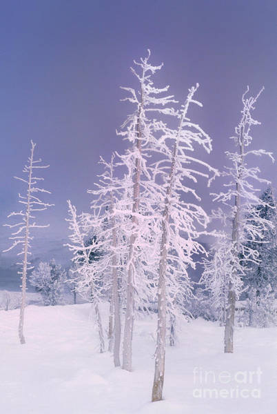 Photograph - Ghost Trees In Yellowstone National Park by Dave Welling