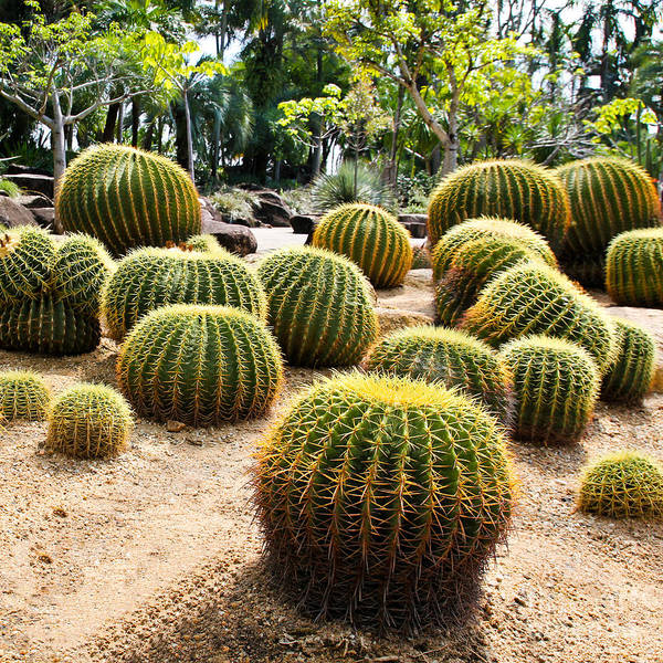 Tropical Plants Photograph - Giant Cactus In Garden, Thailand by Doraclub