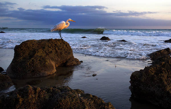 Photograph - Giant Egret by John Rodrigues