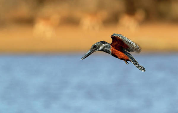 Laughing Photograph - Giant Kingfisher Megaceryle Maxima by Gaston Piccinetti