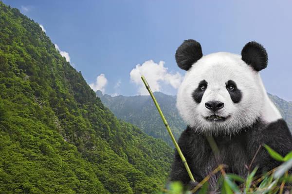 Wall Art - Photograph - Giant Panda Against Mountain Landscape by Frank Lukasseck
