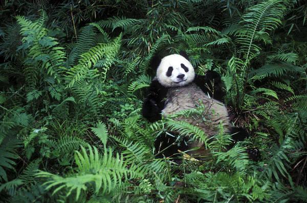 Wall Art - Photograph - Giant Panda Ailuropoda Melanoleuca by Daniel Cox