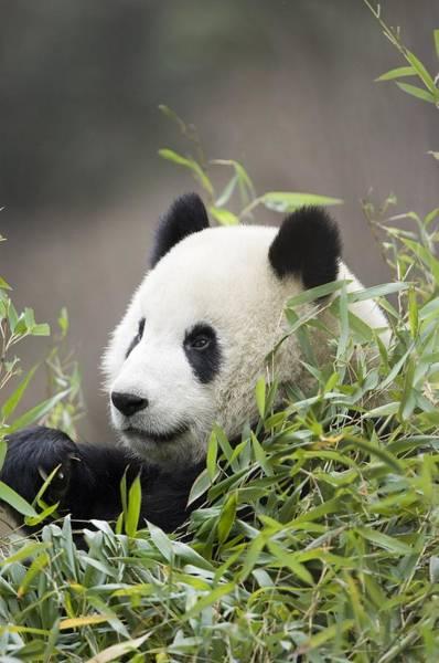 Wall Art - Photograph - Giant Panda, Ailuropoda Melanoleuca by Mike Powles