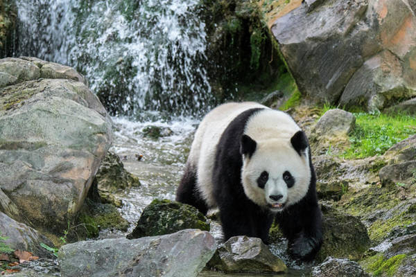 Photograph - Giant Panda And Waterfall by Arterra Picture Library