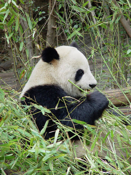 Bamboo Shoots Photograph - Giant Panda by Frankvandenbergh