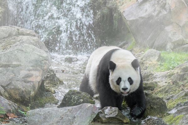 Photograph - Giant Panda In The Mist by Arterra Picture Library