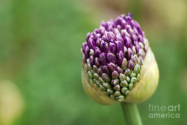 Wall Art - Photograph - Giant Purple Allium Bud Just Opening by Marie C Fields