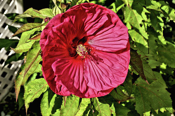 Wall Art - Photograph - Giant Red Hibiscus 1 by John Trommer