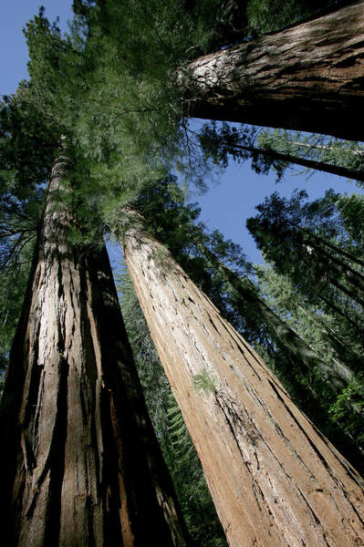 Sequoia Grove Photograph - Giant Sequoia Of Yosemite by Gary Pearl