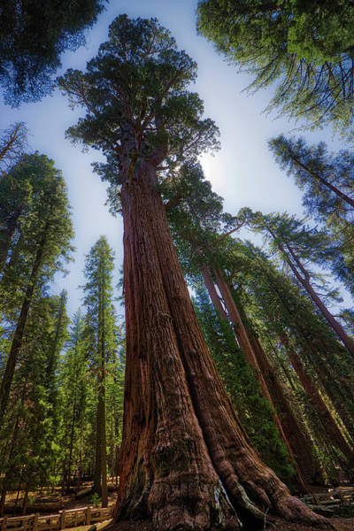 Photograph - Giant Sequoia Tree by Andy Konieczny