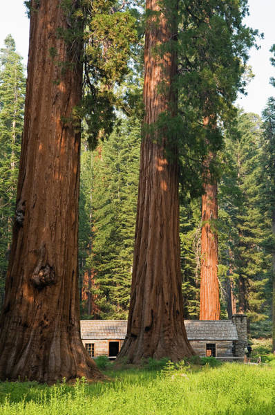 Sequoia Grove Photograph - Giant Sequoia Trees In Mariposa Grove by Anders Blomqvist