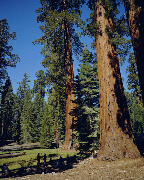 Sequoia Grove Photograph - Giant Sequoia Trees, Mariposa Grove by Geoff Renner / Robertharding