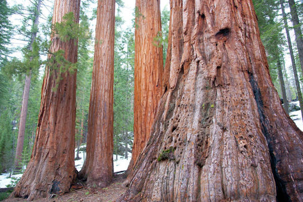 Sequoia Grove Photograph - Giant Sequoias In Mariposa Grove by Asier