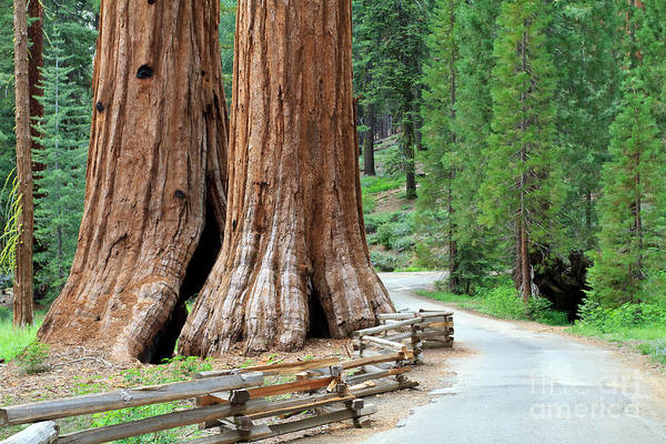 Pine Grove Photograph - Giant Sequoias, Mariposa Grove Yosemite by Topseller