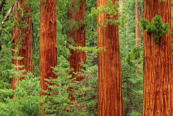 Sequoia Grove Photograph - Giant Sequoias Sequoiadendron by Bruce Forster