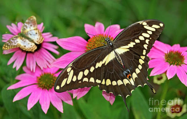 Photograph - Giant Swallowtail Papilo Cresphontes by Dave Welling