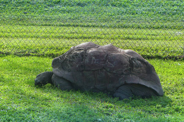 Tortoise Shell Photograph - Aldabra Tortoise by Art Spectrum