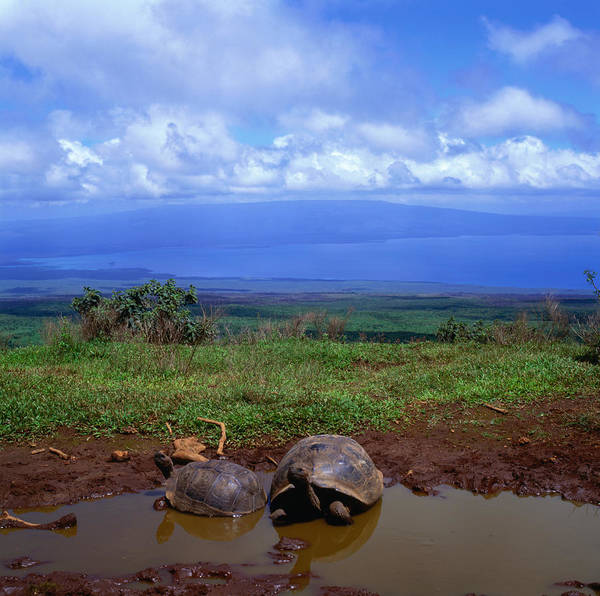 Tortoise Shell Photograph - Giant Tortoises In Pond With Bay In by Wes Walker