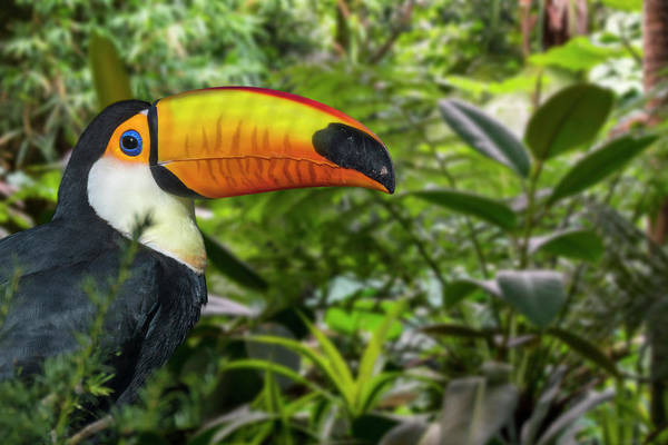 Photograph - Giant Toucan In The Jungle by Arterra Picture Library