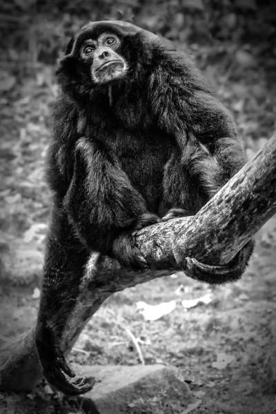Photograph - Gibbon by Chris Boulton