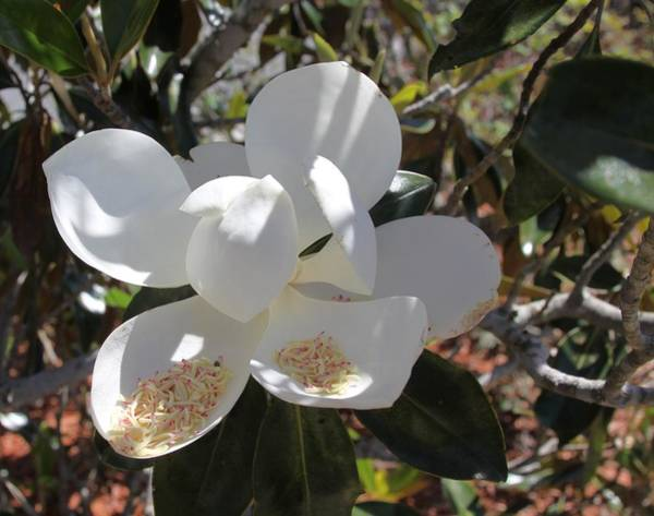Photograph - Gigantic White Magnolia Blossoms Blowing In The Wind by Philip Bracco